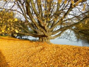 Djurgärden tree