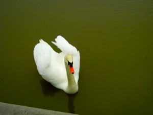 djurgården swan