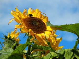 tantolunden sunflower